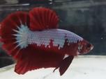 Kian Diminati, Ikan Cupang Multicolor Tembus Rp 7,5 Juta