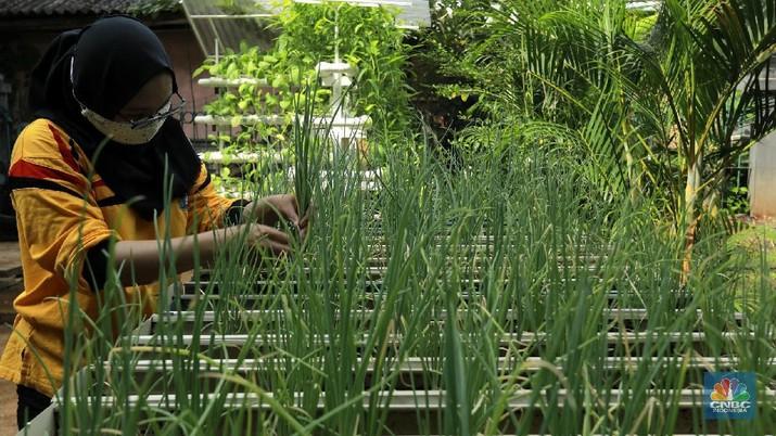 Tanaman hydroponic (CNBC Indonesia/Tri Susilo)