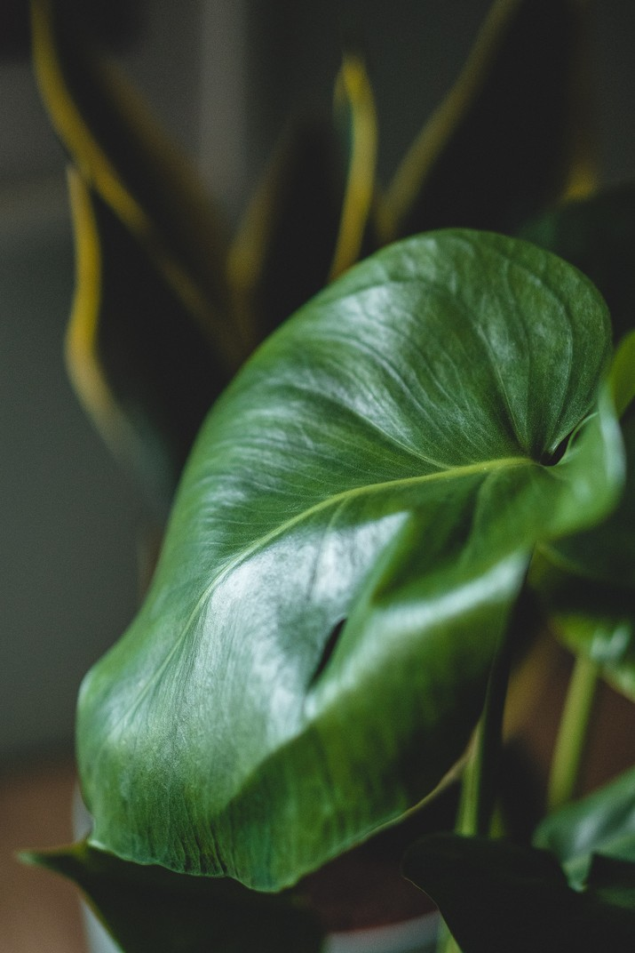 Philodendron (Photo by Maahid Photos from Pexels)