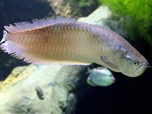 Mahal Gila! Ini Alasan Harga Ikan Arwana Putih Tembus Rp 5 M