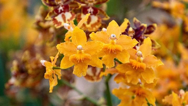 Anggrek Oncidium (Image by gsibergerin from Pixabay)