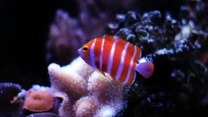 Peppermint Angelfish. Ist