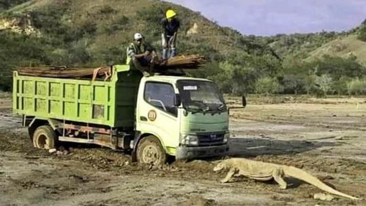 Truck yang memasuki pulau Rinca Taman Nasional Komodo, diadang biawak komodo. Foto: Ist