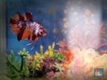 Kecil-kecil Cabe Rawit, Potret Ikan Cupang yang Lagi Hits