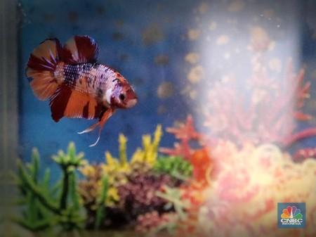 Kian Diminati Ikan Cupang Multicolor Tembus Rp 7 5 Juta
