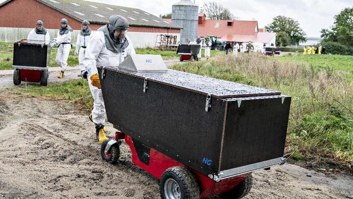 Karyawan dari Badan Pengawas Hewan dan Makanan Denmark dan petugas transportasi Badan Manajemen Darurat Denmark di sebuah peternakan cerpelai, di Gjoel, Denmark. (AP/Henning Bagger)
