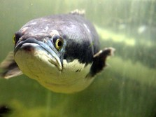 Bunda.. Ikan Gabus Bukan Cuma Buat Pempek, Dijual Rp 35 Juta