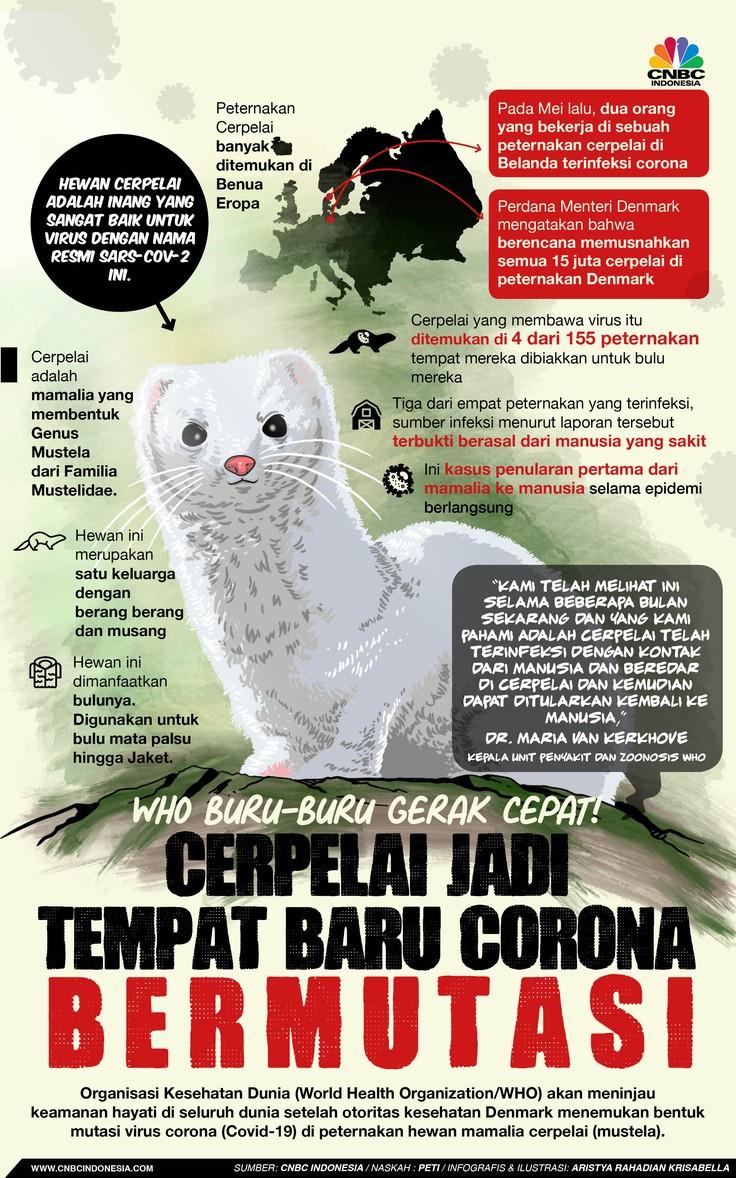 Infografis/WHO buru-buru gerak cepat, Cerpelai jadi tempat baru corona bermutasi