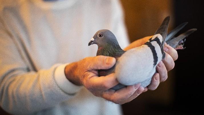 Seekor burung merpati laku dilelang dengan harga mencapai rekor 1,6 juta, atau hampir Rp27 miliar. (AP/Francisco Seco)
