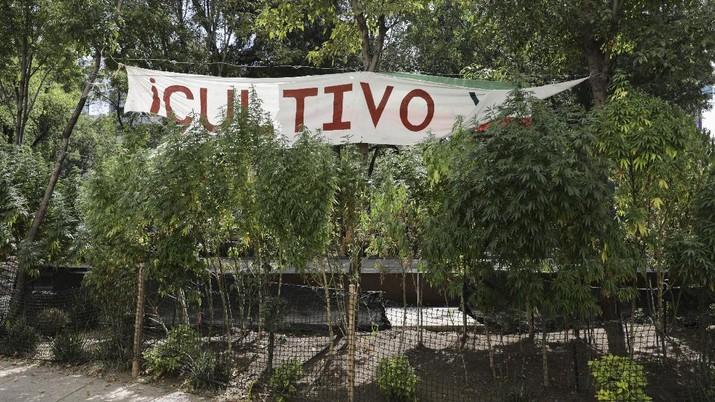 Meksiko berencana melegalkan ganja untuk kebutuhan pengobatan dan rekreasi. (AP/Eduardo Verdugo)