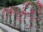 5 Tanaman Hias Merambat Dinding untuk Percantik Dekor Rumah