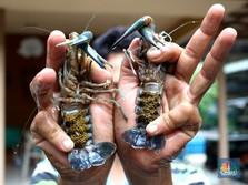 Trenggono: Singapura-Vietnam Untung Besar dari Lobster RI!