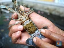 Terungkap! KPPU Temukan Permainan Ekspor Benih Lobster