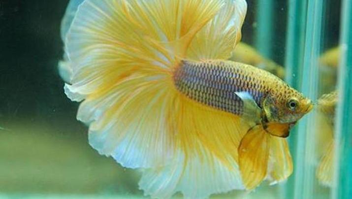 Ikan Cupang Kachen Worachai. Ist