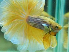 10 Jenis Ikan Cupang Cantik untuk Dipelihara di Rumah