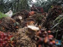 Sumatera & Kalimantan Dilanda Banjir, Harga CPO Terbang