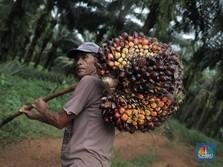Kena Profit Taking Jelang Akhir Pekan, Harga CPO Turun Tipis