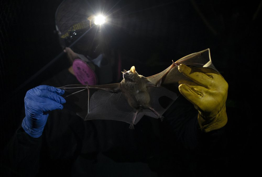 A bat hangs from a branch outside Brazil's state-run Fiocruz Institute at Pedra Branca state park, near Rio de Janeiro, Tuesday, Nov. 17, 2020. Bats are thought to be the original or intermediary hosts for multiple viruses that have spawned recent epidemics, including COVID-19, SARS, MERS, Ebola, Nipah virus, Hendra virus and Marburg virus. (AP Photo/Silvia Izquierdo)