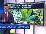 PBB Restui Ganja Jadi Tanaman Obat