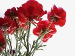 5 Tanaman Hias Merah Indoor Ini Cocok Buat Dekorasi Natal