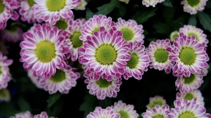 Chrysanthemum Morifolium (Image by Ngoc Huy Nguyen from Pixabay)