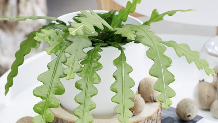 Fishbone cactus. (Dok: Istimewa)