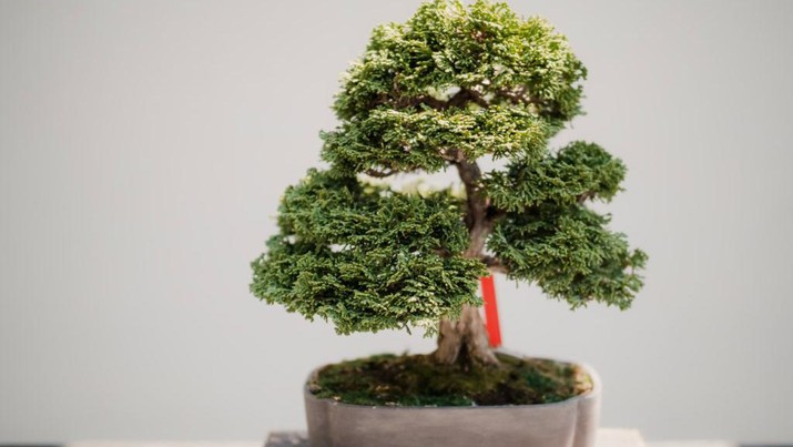 Bonsai (Photo by Todd Trapani from Pexels)