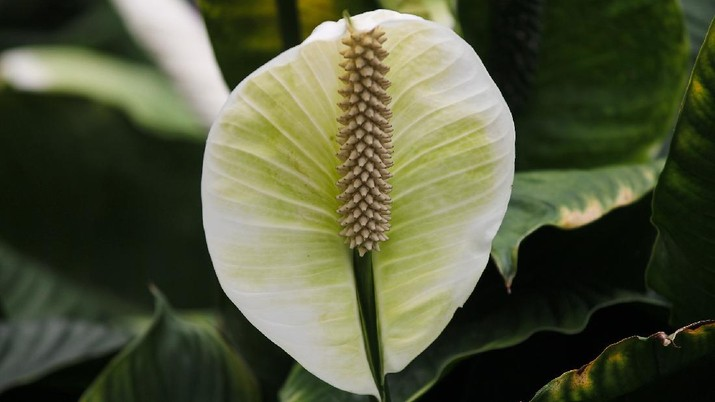 Tanaman Lili perdamaian/ Peace Lily (Image by Manfred Richter from Pixabay)