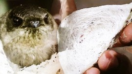 Sarang Burung Walet, Harta Karun Tersembunyi RI