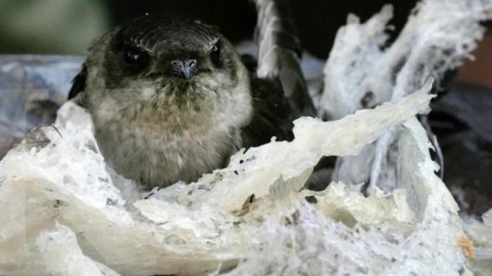 Ilustrasi sarang burung walet. Ist