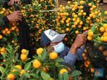 Intip Penjualan Jeruk 'Imlek' di Tengah Keganasan Pandemi