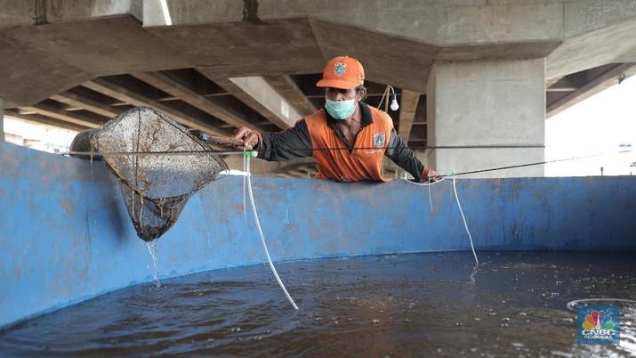 Harun petugas PPSU mengecek lele yang di budidayakan di Kolong Tol Becakayu, Jakarta Timur, Selasa, 2 Februari 2020. Memanfaatkan lahan kosong di kolong Tol Becakayu Harun bersama warga kelurahan Cipinang Melayu membuat sejumlah kolam dengan bak yang berisi 70 kg lele. Harun bersama warga rutin memberikan pakan  ke lele lele tersebut. Budidaya lele tersebut dengan metode kolam bioflok. Dia mengatakan budidaya ikan lele sistem bioflok adalah suatu sistem pemeliharaan ikan dengan cara menumbuhkan mikroorganisme yang berfungsi mengolah limbah budi daya itu sendiri menjadi gumpalan-gumpalan kecil yang bermanfaat sebagai makanan alami ikan. Hasil panenya ia jual ke warga dengan harga Rp 25 ribu/kg.  (CNBC Indonesia/ Muhammad Sabki)