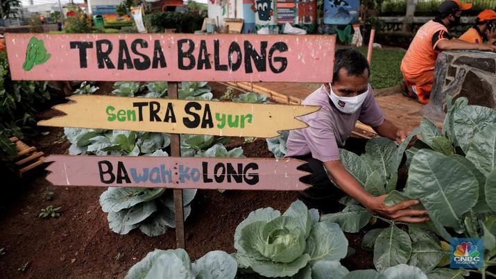 Murtani (58) merawat tanaman sayuran yang ditanam di sentra sayuran bawah kolong (Trasa Balong) Jalan Layang Cipinang, Jakarta, Selasa (2/1/2021). Trasa Balong merupakan salah satu inovasi kegiatan urban farming hasil swadaya masyarakat RW 08 Cipinang, Jakarta Timur yang memanfaatkan lahan kosong untuk ditanami berbagai jenis sayur mayur seperti kangkung, sawi, kol, cabai, selada dan tomat. Trasa Balong ini sudah ada sejak 3 tahun lalu. Dalam 3 bulan sentra sayur ini mampu menghasilkan 30 kg sayur kangkung.  (CNBC Indonesia/ Muhammad Sabki)