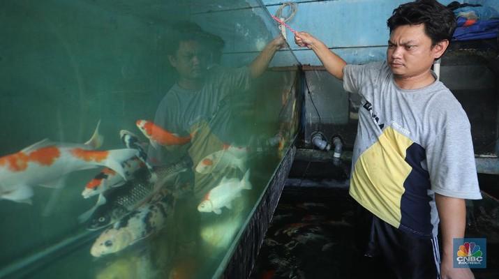 Pekerja membersihkan dan memilah ikan koi di pasar ikan Kemayoran, Jakarta, Jumat (5/2/2021). Sejak pendemi corona (Covid-19) ada beberapa hobu baru yang menjadi tren dikalangan masyarakat salah satunya memelihara ikan hias. Hal inu dipicu desakan orang-orang untuk yetap tinggal dirumah guna menghindari penyebaran virus Covid-19 di tengah keramain sehingga minat masyarakat untuk memlihara hewan peliharaan kian meningkat. Bagi anda pecinta ikan hias tetntunya sudah tidak kaget lagi dengan ikan koi, beragam corak yang indah tak heran jika koi memiliki harga yang sangat tinggi.