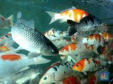 Potret Bisnis Ikan Koi yang Cuan Jutaan Saat Pandemi Covid-19