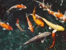 Intip Harga Ikan Koi Terbaru, Seekor Tembus Rp 2 Juta