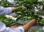 Top! Tanaman Hias & Benih Kangkung-Tomat RI Laris di Malaysia