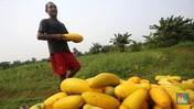 Penampakan Petani Timun Suri yang Cuan Saat Bulan Ramadan