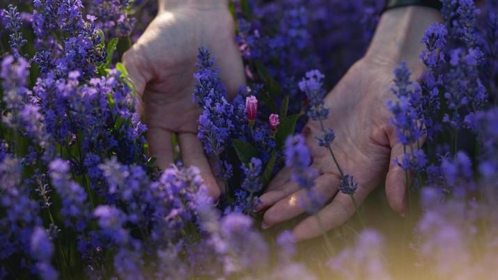 Lavender (Photo by Serghei Savchiuc on Unsplash)