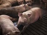 Krisis Inggris Beneran ke Mana-mana, Tukang Jagal Babi Hilang