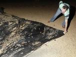 Ngeri, Petani Australia Kalang Kabut Hadapi Wabah Tikus