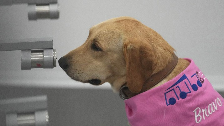 Tiger, a Labrador Retriever, sits in front of a sample of human sweat after detecting the COVID-19 coronavirus at a mobile canine unit in Bangkok, Thailand, Thursday, June 17, 2021. Thailand has deployed a canine virus detection squad to help provide a fast and effective way of identifying people with COVID-19 as the country faces a surge in cases, with clusters found in several crowded slum communities and large markets. (AP Photo/Sakchai Lalit)