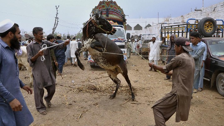 People try to control a bull so it can be loaded into a truck, after buying it for the upcoming Muslim Eid al-Adha or Feast of Sacrifice holiday, at a cattle market in Peshawar, Pakistan, Tuesday, July 13, 2021. Eid al-Adha, the most important Islamic holiday, marks the willingness of the Prophet Ibrahim, Abraham to Christians and Jews, to sacrifice his son. During the holiday, which in most places lasts four days, Muslims slaughter sheep or cattle, distribute part of the meat to the poor and eat the rest. (AP Photo/Muhammad Sajjad)