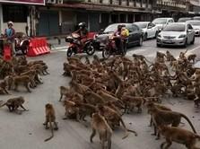 Viral! Gegara Covid, Geng Monyet 'Tawuran' di Thailand