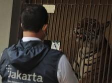Intip 2 Harimau Sumatera Terpapar Covid-19 di Ragunan