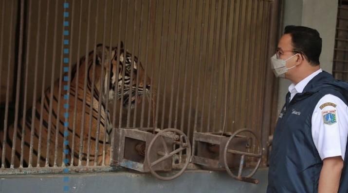 Hari dan Tino, Harimau Sumatera di Taman Margasatwa Ragunan yang didiagnosis positif COVID-19  (Instagram/Anies Baswedan)