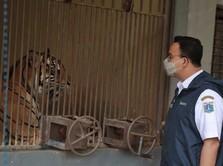 Ini Cerita Anies Soal Harimau Ragunan Terpapar Covid-19