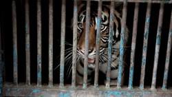 Kronologi 2 Harimau Sumatera di Ragunan Terpapar Corona Hingga Sehat Lagi