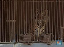 Intip Tino & Hari, Harimau Sumatra yang Sempat Terpapar Covid