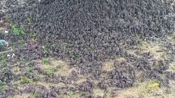 Ribuan burung pipit jatuh berhamburan ke tanah viral di media sosial, Kamis (9/9/2021). (Tangkapan layar Instagram @balibroadcast)